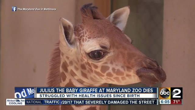 Maryland Zoo Announces Death Of Baby Giraffe Julius Weeks After Birth